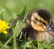Duckling in Dandelions by Captivelight