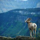 Big Horn Sheep 2, Glacier NP by artsphotoshop