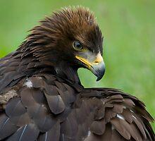 Golden Eagle by Captivelight