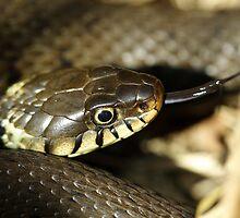 Grass snake, in the sun by Taka