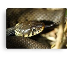 Grass snake, in the sun Canvas Print