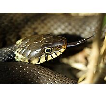 Grass snake, in the sun Photographic Print