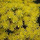 Little Yellow Daisies by Judi Corrigan