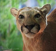 Mountain Lion, Glacier NP by artsphotoshop