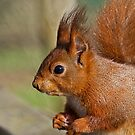 Fern The Red Squirrel 2 by Susie Peek