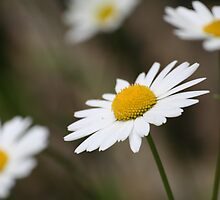 Maguarite Daisies by Pamela Jayne Smith
