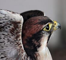 Lanner Falcon by Krys Bailey