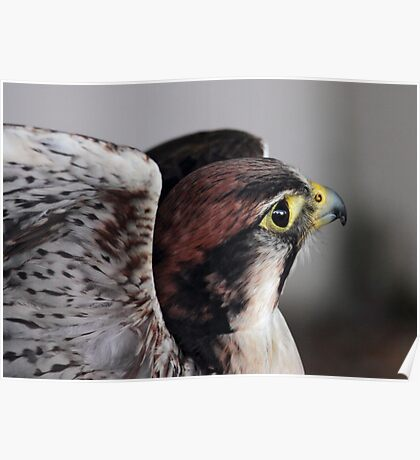 Lanner Falcon Poster