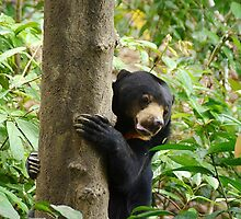 Sun Bear at Bornean Sun Bear Conservation Centre by Photography by Mathilde