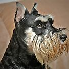 Ollie, the Miniature Schnauzer - Brave and Funny by Christine Till  @    CT-Graphics