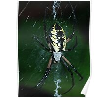 Black and Yellow Argiope Poster