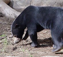 Sun Bear 1 by Anne Smyth