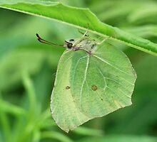 Brimstone Butterfly by winterhare