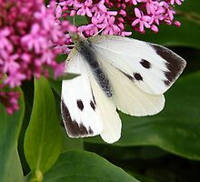 Large White Butterfly on Valerian by patroc