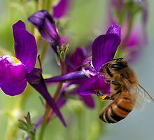 Bee Macro by Grant Scollay