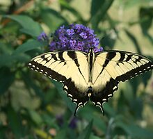 Perfectly Aligned Butterfly on a Butterfly Bush  by Bonnie Boden