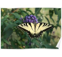 Perfectly Aligned Butterfly on a Butterfly Bush  Poster