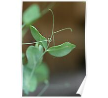 Snow Pea Tendril Made an Intricate Self-Support Poster