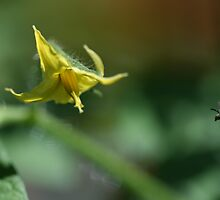 Tiny Insect Coming in for a Landing (To Get To Work) on a Waiting Tomato Flower  by Bonnie Boden