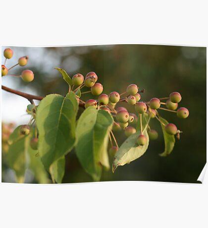 Sunlit Apple Tree Poster