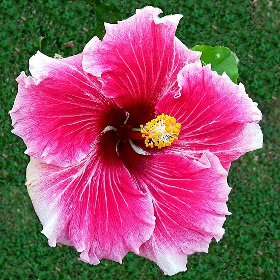 """Hibiscus, """"Pink Dragon"""" by Margaret  Hyde"""