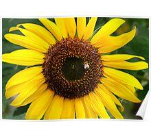 Sunflower Gold Poster