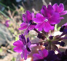 Purple Passion by oklahoman