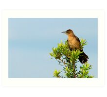 Boat-Tailed Grackle Art Print