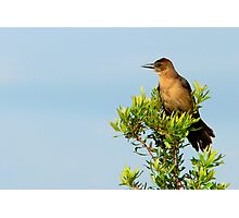 Boat-Tailed Grackle Photographic Print