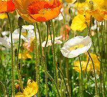 poppyfields by troy