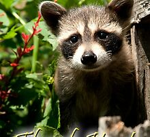 Thank You Baby Raccoon by Wild For Ever