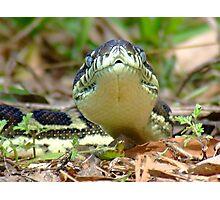 Python-Front on Photographic Print