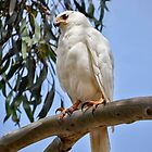 White Goshawk by Karine Radcliffe