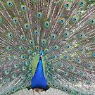 Peacock  by Pamela Jayne Smith
