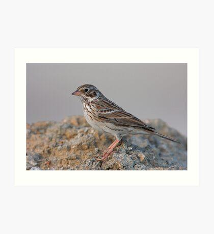 Vesper Sparrow Art Print