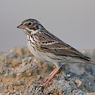 Vesper Sparrow by tomryan