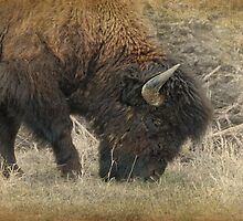 Grazing Buffalo by Dyle Warren