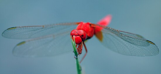 Red Dragon  by David Clark