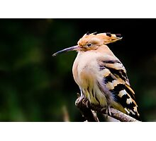 hoopoe sitting on a branch. Photographic Print