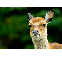 sika deer  Photographic Print