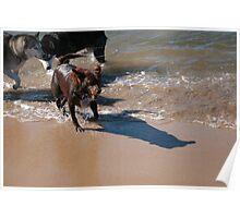 3 Nick's Rescue Dog Kelpie-Border Collie Poster