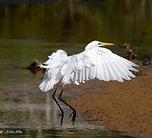 Eastern Great Egret (Ardea modesta).  by Normf