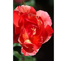 Vibrant Rose Photographic Print