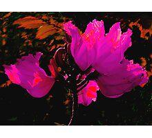 Wilting Hibiscus Photographic Print