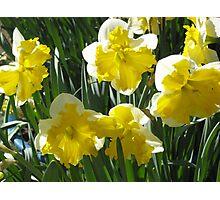 White and Yellow Daffodils Photographic Print