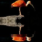 REFLECTED IBIS by Johan  Nijenhuis