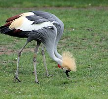African Cranes, Two In One by Laurie Puglia