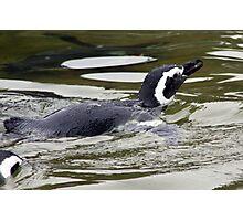 Penguin Photographic Print