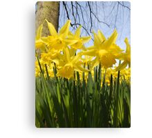 Daffodils 2 by Amber Feng Shui Art Canvas Print