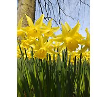 Daffodils 2 by Amber Feng Shui Art Photographic Print